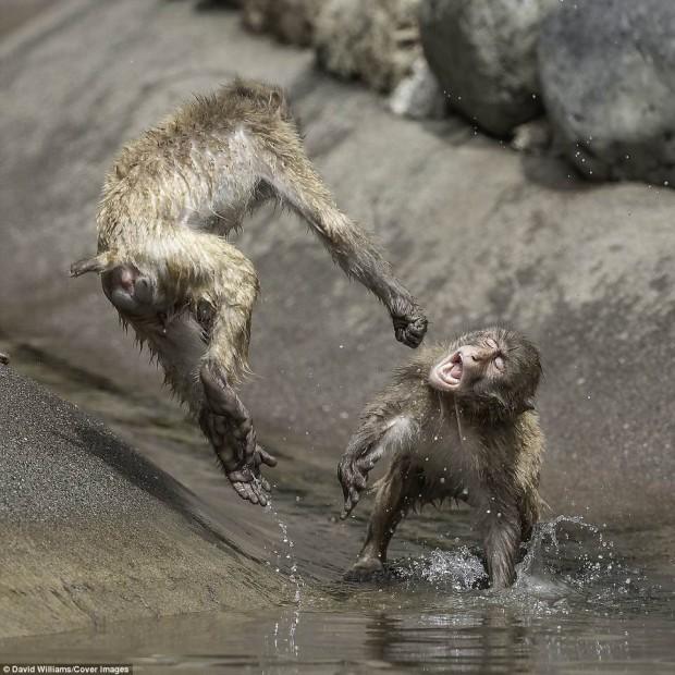 Hai chú khỉ đánh nhau tóe lửa giữa công viên Nhật Bản để tranh chức Mỹ Hầu Vương - Ảnh 1.