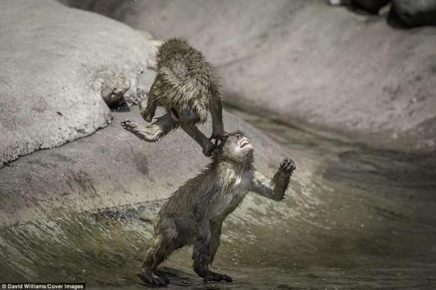 Hai chú khỉ đánh nhau tóe lửa giữa công viên Nhật Bản để tranh chức Mỹ Hầu Vương - Ảnh 2.