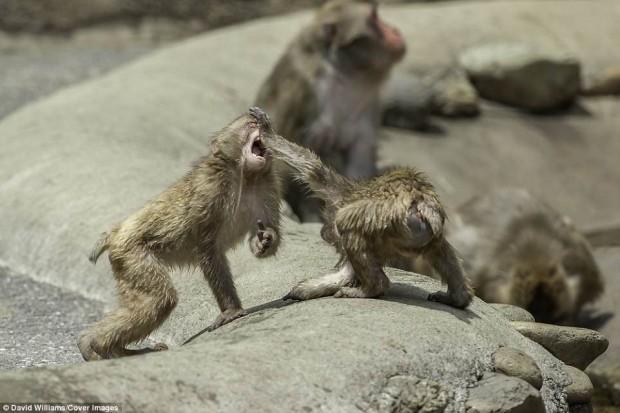 Hai chú khỉ đánh nhau tóe lửa giữa công viên Nhật Bản để tranh chức Mỹ Hầu Vương - Ảnh 3.