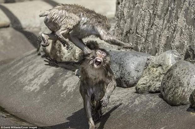 Hai chú khỉ đánh nhau tóe lửa giữa công viên Nhật Bản để tranh chức Mỹ Hầu Vương - Ảnh 4.