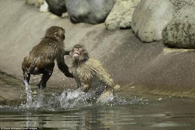 Hai chú khỉ đánh nhau tóe lửa giữa công viên Nhật Bản để tranh chức Mỹ Hầu Vương - Ảnh 5.