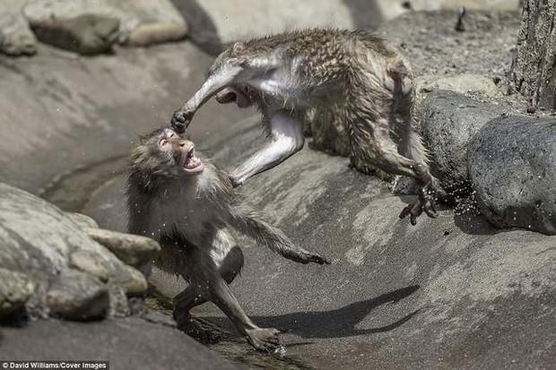 Hai chú khỉ đánh nhau tóe lửa giữa công viên Nhật Bản để tranh chức Mỹ Hầu Vương - Ảnh 7.