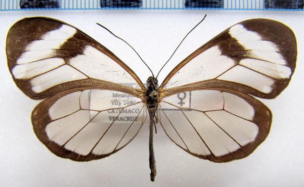 Loài bướm với đôi cánh trong suốt này sẽ có ngày cứu lấy đôi mắt của chúng ta - Ảnh 1.
