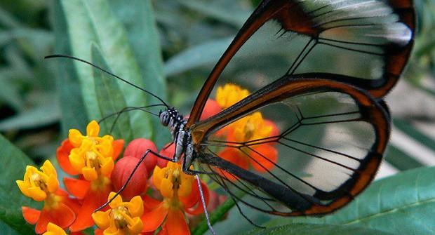 Loài bướm với đôi cánh trong suốt này sẽ có ngày cứu lấy đôi mắt của chúng ta - Ảnh 2.