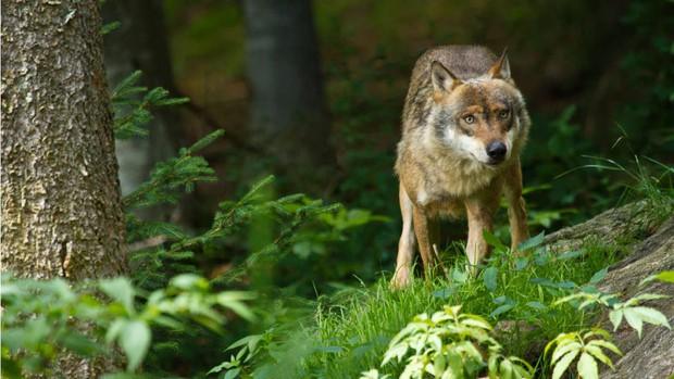 Khoảnh khắc con sói cái cuối cùng tại Đan Mạch bị bắn chết được ghi lại trong video đau lòng này - Ảnh 1.