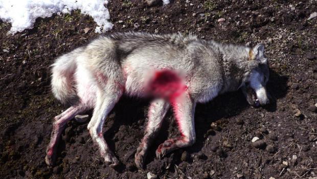 Khoảnh khắc con sói cái cuối cùng tại Đan Mạch bị bắn chết được ghi lại trong video đau lòng này - Ảnh 3.