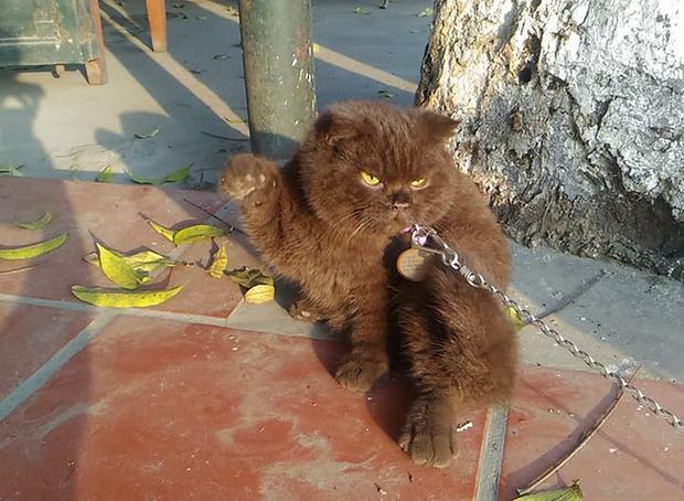Tạm quên chú mèo tên Chó đi, ở Hải Phòng còn có cả mèo bảo kê đang nổi như cồn trên MXH đây này - Ảnh 2.