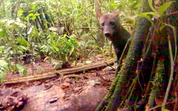 Mất 18 năm nghiên cứu, nhà khoa học mới ghi hình được loài chó hiếm có này - Ảnh 2.