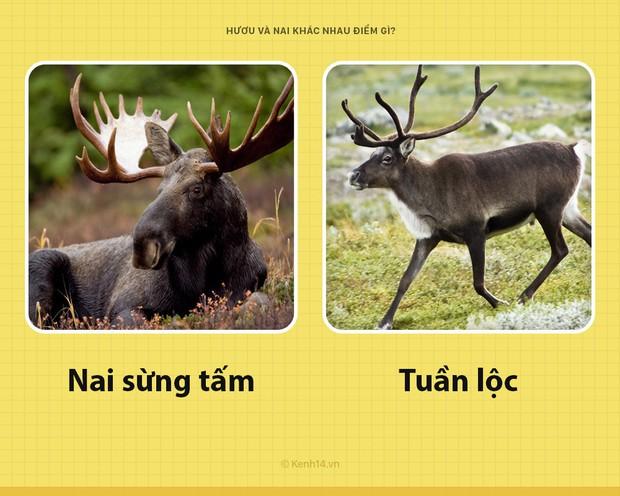 Câu hỏi đau đầu nhất trong ngày: Hươu với nai khác nhau chỗ nào? Hóa ra tất cả chúng ta đã nhầm về nai Bambi - Ảnh 5.