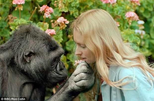 Koko - khỉ đột biết nói chuyện với con người đã qua đời ở tuổi 46 - Ảnh 2.