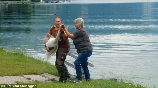 Đôi thiên nga đồng tính bị đem ra khỏi hồ vì hung dữ tấn công con người, mà lý do đằng sau không biết nên cười hay khóc - Ảnh 3.