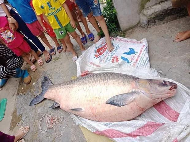 Yên Bái: Thêm một con cá trắm khổng lồ nặng 61kg sa lưới ngư dân trên hồ Thác Bà - Ảnh 2.