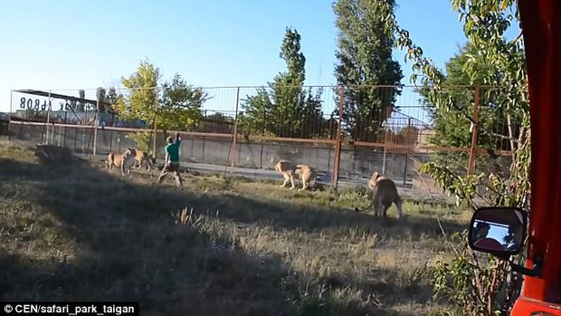 Clip: Thấy bầy sư tử gây lộn đánh nhau, chú trung niên rút dép vả mỗi con một phát - Ảnh 5.