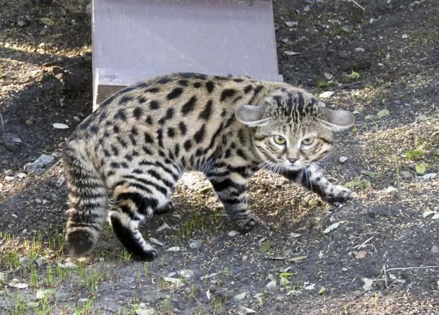 Chân dung loài mèo nguy hiểm bậc nhất thế giới nhưng lại có vẻ ngoài đáng yêu lừa tình - Ảnh 3.