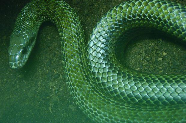 Loài rắn lớn nhất Nhật Bản có thể vô tư leo tường vào nhà dân mà chẳng ai sợ - vì sao? - Ảnh 1.