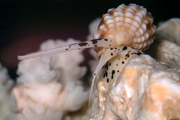 Khi ăn ốc: Hãy tránh xa loài ốc này vì nó có độc tố mạnh hơn cả cá nóc và sẽ giết bạn trong tích tắc - Ảnh 4.