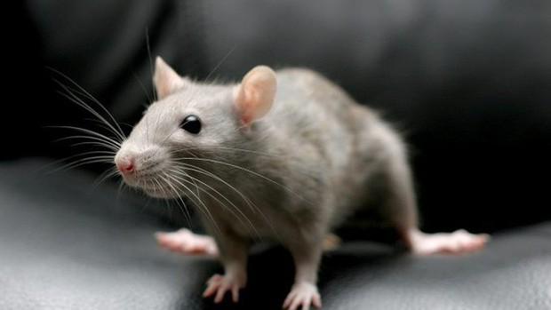 Hợp chất có trong rau và thuốc hóa trị làm chậm quá trình lão hóa, giúp chuột tăng được 36% tuổi thọ - Ảnh 3.