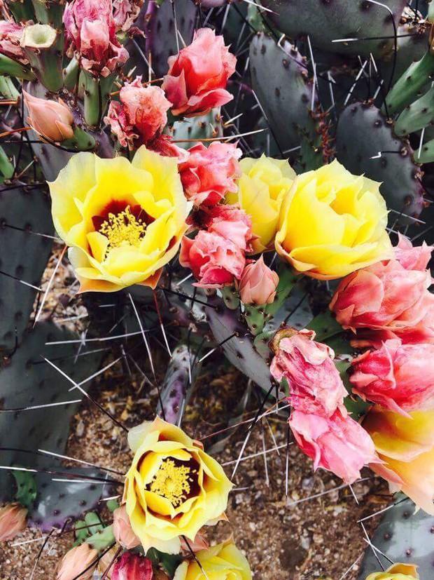 Cư dân mạng khoe trồng xương rồng ra hoa rực rỡ xem ai mát tay hơn - Ảnh 6.