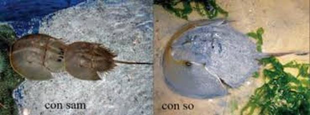 Ngộ độc chết người chỉ vì nhầm lẫn so biển với sam biển: Cách phân biệt chuẩn xác theo hướng dẫn của chuyên gia - Ảnh 1.