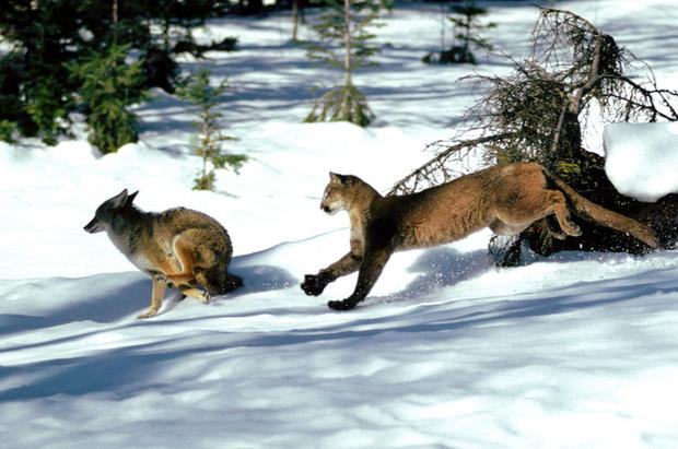 Chó sói điên cuồng tấn công báo sư tử nặng gấp 5 lần: Ưu thế thuộc về kẻ không ai ngờ tới - Ảnh 1.