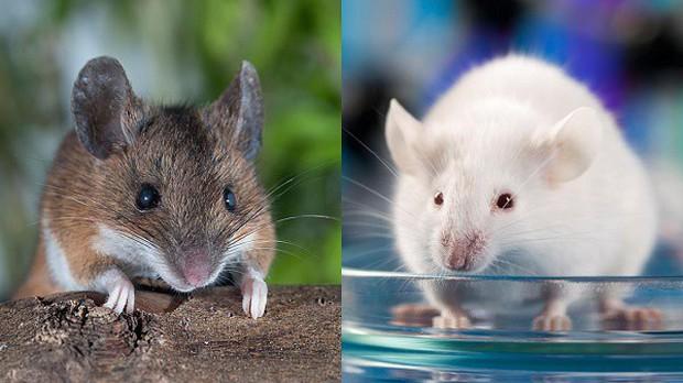 Sự thật khó tin: Một đôi chuột thí nghiệm có thể đắt ngang một chiếc xe hơi tiền tỉ - Ảnh 1.