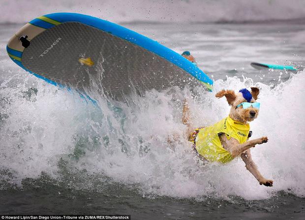 Mỹ: Boss cưng toàn quốc nô nức tham dự cuộc thi lướt sóng dành cho chó tại bãi biển Imperia - Ảnh 2.