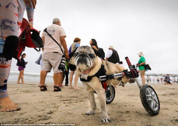 Mỹ: Boss cưng toàn quốc nô nức tham dự cuộc thi lướt sóng dành cho chó tại bãi biển Imperia - Ảnh 11.