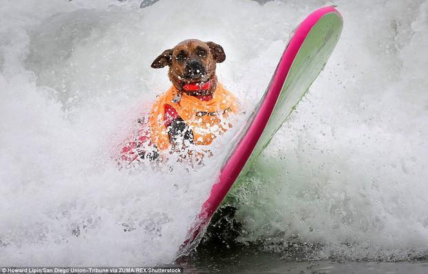 Mỹ: Boss cưng toàn quốc nô nức tham dự cuộc thi lướt sóng dành cho chó tại bãi biển Imperia - Ảnh 3.