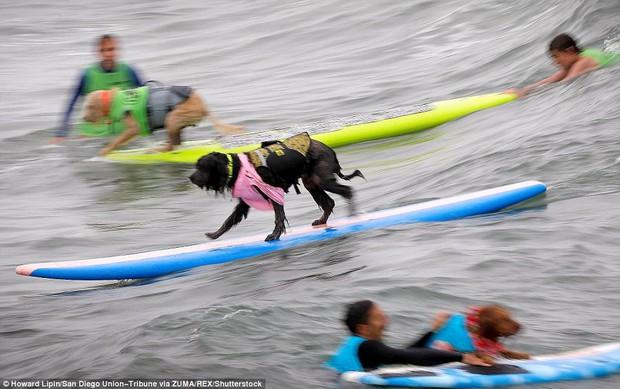 Mỹ: Boss cưng toàn quốc nô nức tham dự cuộc thi lướt sóng dành cho chó tại bãi biển Imperia - Ảnh 5.