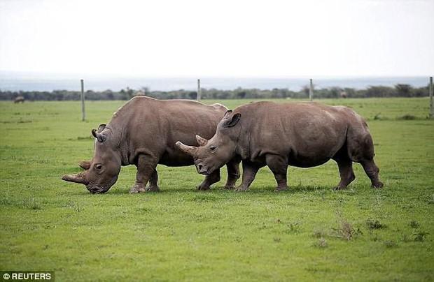 Thành quả đột phá này sẽ giúp loài tê giác trắng Bắc Phi thoát cảnh tuyệt chủng - Ảnh 2.