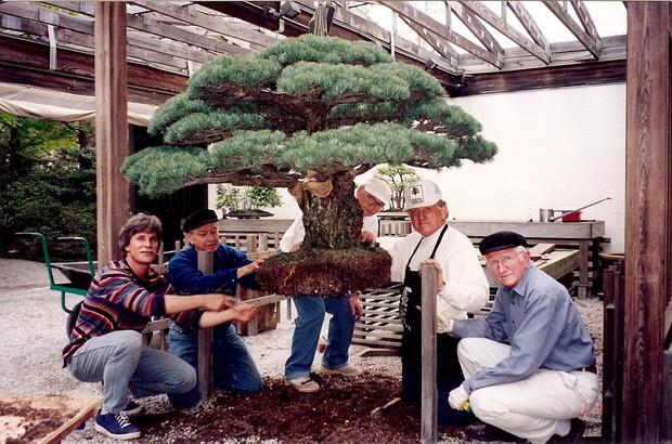 Câu chuyện của cây bonsai Nhật Bản 400 tuổi vẫn sống sót sau khi bom nguyên tử thả xuống Hiroshima - Ảnh 8.