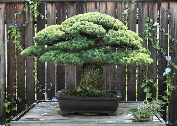 Câu chuyện của cây bonsai Nhật Bản 400 tuổi vẫn sống sót sau khi bom nguyên tử thả xuống Hiroshima - Ảnh 2.