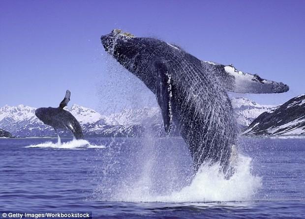 Bí ẩn tiếng hát của cá voi lưng gù cuối cùng đã có lời giải mã rồi - Ảnh 3.