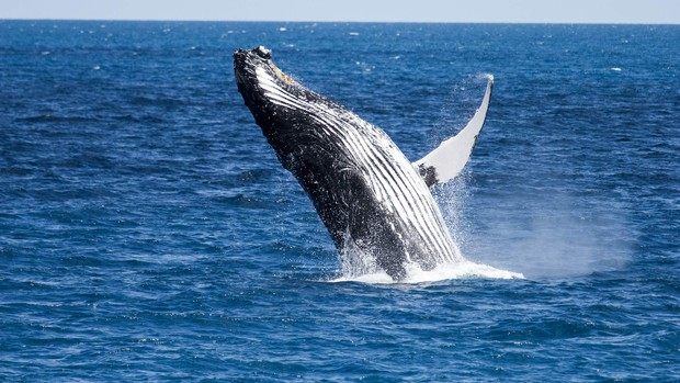 Bí ẩn tiếng hát của cá voi lưng gù cuối cùng đã có lời giải mã rồi - Ảnh 5.