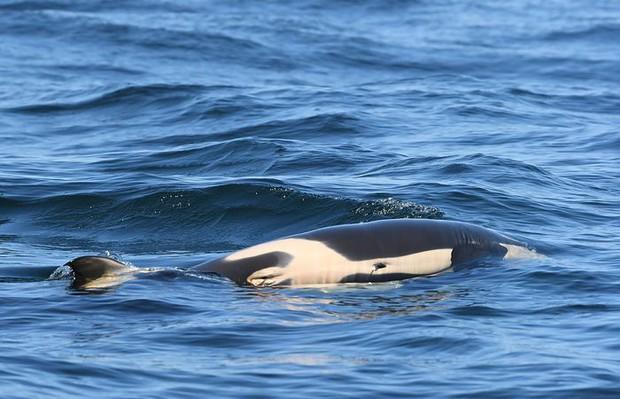 Bà mẹ cá voi sát thủ cuối cùng đã chịu buông bỏ xác con sau 17 ngày lênh đênh trên đại dương - Ảnh 4.