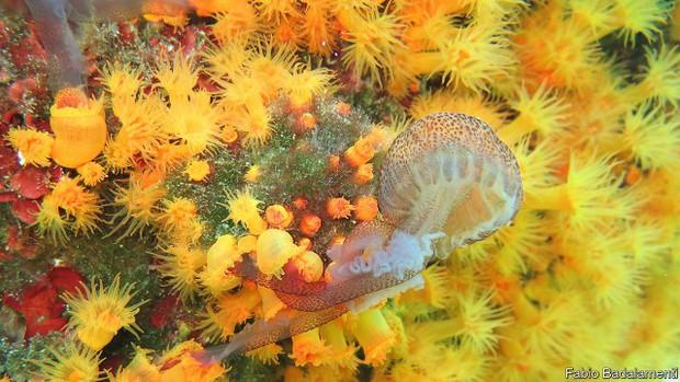 Lần đầu tiên ghi được cách san hô săn mồi: Đánh hội đồng và xả thịt sứa biển - Ảnh 1.