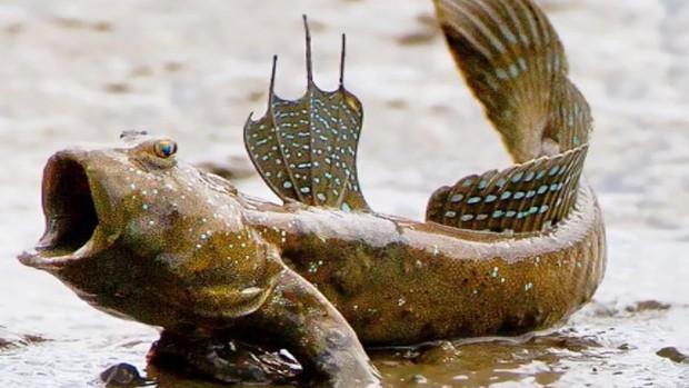 Tung tăng dưới nước, nhưng những loài cá này còn là sát thủ cực nguy hiểm trên cạn - Ảnh 7.