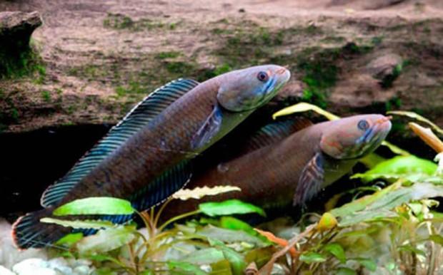 Tung tăng dưới nước, nhưng những loài cá này còn là sát thủ cực nguy hiểm trên cạn - Ảnh 8.
