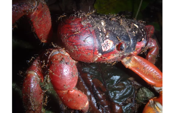 Loài cua đỏ huyền thoại của đảo Giáng Sinh đang lâm nguy và đây là cách khoa học bảo vệ chúng - Ảnh 3.