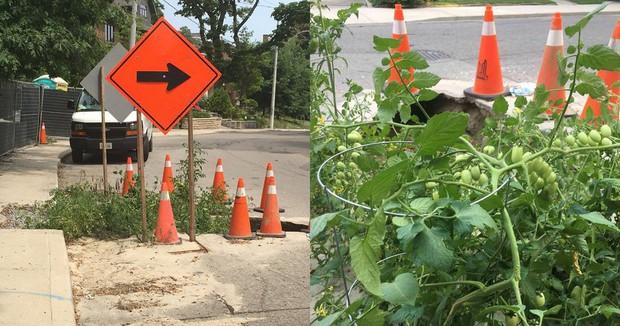 Chướng mắt với ổ voi nằm chình ình giữa phố, bà con Canada tận dụng luôn làm vườn cà chua khiến dân mạng thích thú - Ảnh 2.