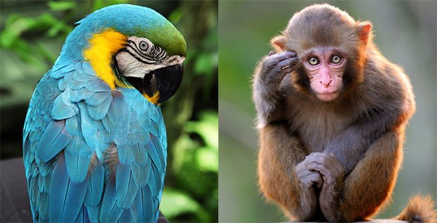 Vẹt là loài cực kỳ thông minh nhưng vì sao chúng có khả năng đó? - Ảnh 3.