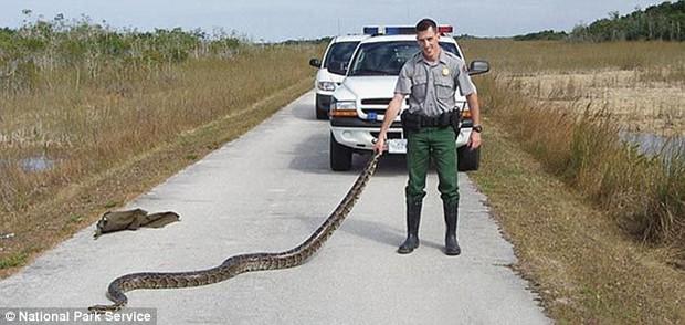 Loài trăn siêu khủng này sắp trỗi dậy và nó đe dọa sự sống ở Florida - Ảnh 3.