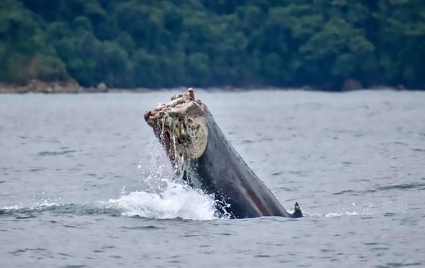 Bàng hoàng cảnh tượng chú cá voi lưng gù bị mất nửa thân bơi lội xuyên Thái Bình Dương - Ảnh 4.
