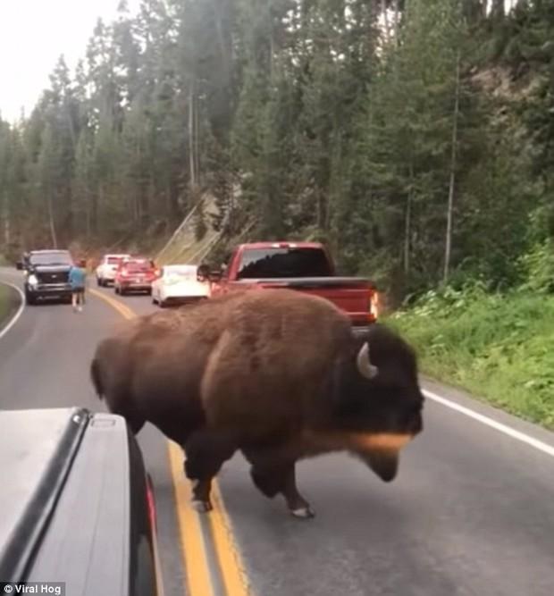 Mỹ: Thanh niên nghịch dại trêu bò rừng để rồi bị húc sấp mặt trong công viên quốc gia - Ảnh 7.