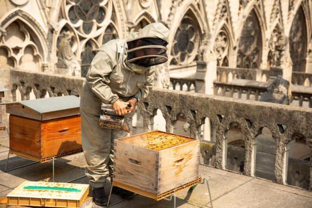Vì sao người Paris nuôi ong lấy mật trên mái vòm những tòa nhà đông khách nhất thành phố này? - Ảnh 4.