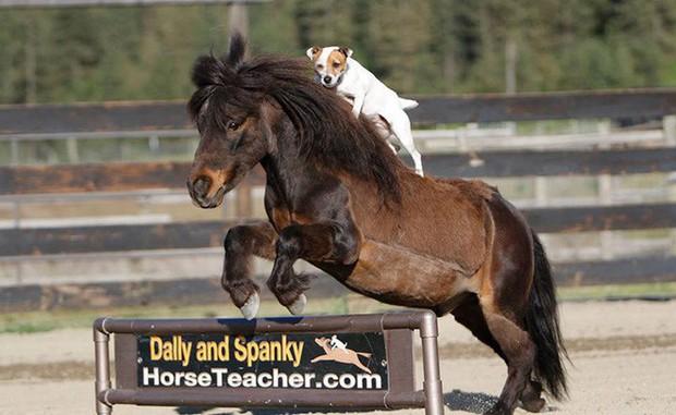 Chuyện lạ: Chú chó có biệt tài cưỡi ngựa không cần dây cương, điều khiển ngựa giỏi như con người - Ảnh 4.