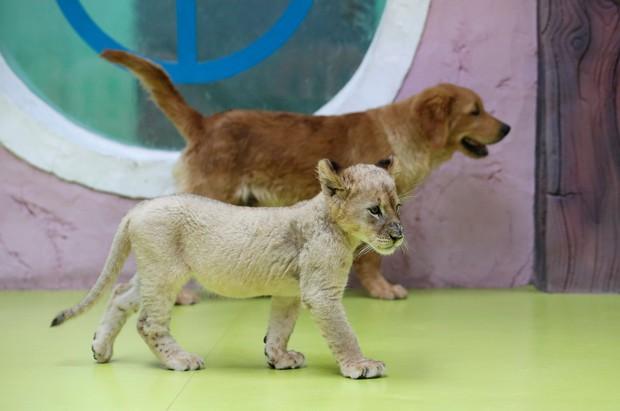 Góc bỉm sữa: Khi hổ, sư tử, linh cẩu đều chung sống dưới một mái nhà của mẹ chó bất đắc dĩ - Ảnh 2.