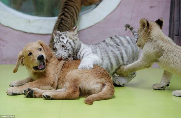 Góc bỉm sữa: Khi hổ, sư tử, linh cẩu đều chung sống dưới một mái nhà của mẹ chó bất đắc dĩ - Ảnh 5.