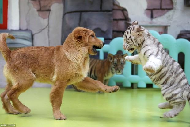 Góc bỉm sữa: Khi hổ, sư tử, linh cẩu đều chung sống dưới một mái nhà của mẹ chó bất đắc dĩ - Ảnh 6.