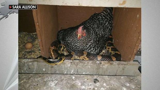 Cảnh tượng khó tin: Gà ngủ chung với rắn - Ảnh 1.